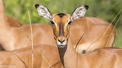 Animals-4 (niekeblos) Tags: impala animal animals southafrica herd