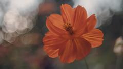 Botanical Garden (Jovan Jimenez) Tags: sony a6500 metabones speedbooster ultra vivitar series 1 3585mm one botanical garden flowers macro bokeh ilce alpha 6500
