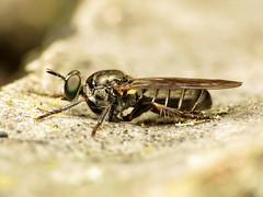 Robber Fly (treegrow) Tags: rockcreekpark washingtondc nature lifeonearth raynoxdcr250 arthropoda insect diptera asilidae atomosia taxonomy:genus=atomosia