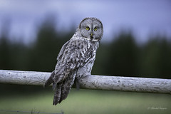 Last Ray of Light- Great Gray Owl (Chantal Jacques Photography) Tags: greatgrayowl wild free wildandfree bluelight lastrayoflight