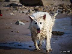 Nach dem Tauchen 5 (Brenda-Gaudi) Tags: rheinwiesen rhein hunde brenda weisseschaeferhunde germany