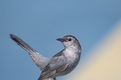 Gray Catbird (j platt) Tags: catbird gray messy red bird nikon d500 sky blue