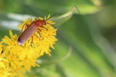 Common Red Soldier Beetle (oddbodd13) Tags: commonred soldierbeetle beetle insect bug coleoptera macro smileonsaturday uniflona