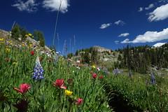 wildflowers! (Sean Munson) Tags: flowers trail okanoganwenatcheenationalforest nationalforest washington hiking backpacking pasaytenwilderness pasayten mountains lupine wildflowers castilleja prairiefire indianpaintbrush