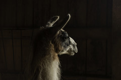 Llama Standing (jessicalowell20) Tags: agriculture animal barn black boards brown detail farm fur light llama maine newengland northamerica rural texture thoughtful white
