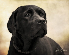 Ms. Bailey (NYRBlue94) Tags: bailey painterly puppy black lab pup animal monochrome white bw portrait dog pet