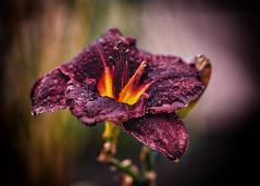 in the rain (Krzysztof Krr) Tags: sony a6000 nex sel50f18 dof bokeh rain dropsofwater drop