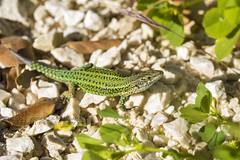 PVA_9995W Podarcis vaucheri. Grazalema spain (Priscilla (still more then 3yrs of photos to go th) Tags: podarcisvaucheri grazalemaspain podarcis lacertidae lizardsofspain reptilesofeurope herpingspain herpingeurope