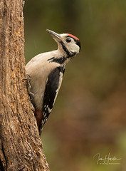 Great spotted woodpecker (Ian howells wildlife photography) Tags: greatspottedwoodpecker ianhowells ianhowellswildlifephotography nature naturephotography nationalgeographic canon canonuk wildlife wildlifephotography wales wild wildbird wildbirds hide