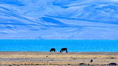 Tso-moriri Wetland Conservation Reserve (pallab seth) Tags: tsomoriri lakemoriri ladakh jammukashmir india horse grazing autumn colour color landscape mountains himalayas highaltitudelake morning tsomoririwetlandconservationreserve