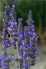 Entre las lavandas (Ana_Lobo) Tags: lavanda abeja macro flor tiedra bokeh