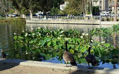 Ducks Watching the People at Echo Park (Robb Wilson) Tags: echopark losangeles losangeleslotusfestival ducks pond lake