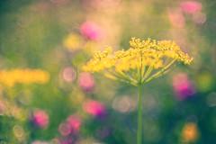 get funky! (madtacker) Tags: outdoor natur makro detail vintage art bokeh pflanze flower bubbles meyergörlitz pentaflexcolor f28 50mm nikon d800 deutschland germany