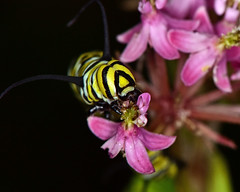 DSC_2433=072918MC (laurie.mccarty) Tags: monarch caterpillar insect macro nature night
