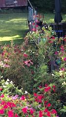 v2018 July 23, Humming Birds (King Kong 911) Tags: humming birds plants flowers feeder nectar lizard