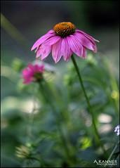 Garden Flowers... (angelakanner) Tags: canon70d 50mmlens closeup longisland garden summer