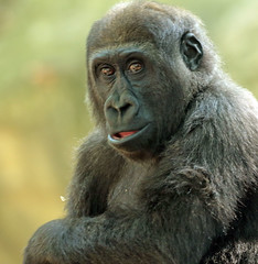 Western lowlandgorilla Barcelona JN6A2924 (j.a.kok) Tags: gorilla westelijkelaaglandgorilla westernlowlandgorilla lowlandgorilla laaglandgorilla animal africa afrika aap ape barcelona mammal monkey mensaap primate primaat zoogdier dier