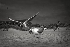 fight for food (mitcho pitch) Tags: möwen seagulls lower saxony wadden sea north nordsee norddeich norden fight for food kampf um nahrung dof sony alpha 68 dt sal 1650 mm f29 niedersachsen