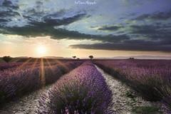 Lavanderie Angelvin (freuddy) Tags: lavande lavender colour sunset flower landscape nature provence france blue sky sun h