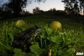 Marsh frog @ Kamien Pomorski, Rekowo 2018
