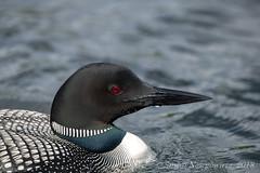 Common Loon   {Gavia immer} (Susan Newgewirtz) Tags: commonloon ontario feathers wildlifephotography lakes wildlife outdoor nikon nikond850 nikkor300mm water bird