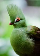 One more of the rockin' mohawk (R.A. Killmer) Tags: beauty mohawk feathers bird avian green odd unique canada niagara falls ontario nature