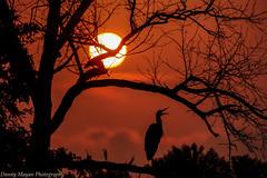 Rise & Shine (danny.mayan1386) Tags: bombayhook sunrise silhouettephotography greatblueheron