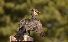 """Cormorant Richmond lock trying to stay cool (Ratsiola) Tags: birds wildlife nature environment feathers wings eyes green black blue """"natural world"""""""