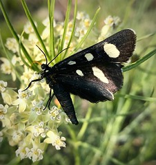 """""""Summer Grace"""" (bradhodges09) Tags: newmexicophotography newmexico summer nature delicate fragility closeup insect spottedbutterfly blackbutterfly butterflies butterfly"""
