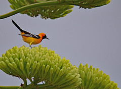Male hooded oriole (justkim1106) Tags: centuryplant agave flower wildflower texasplant bird oriole texasbird orange hoodedoriole nature wildlife texaswildlifetexasnatureyellow blooms