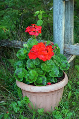 DSC00912 - Geranium (archer10 (Dennis) 145M Views) Tags: museum sony a6300 ilce6300 18200mm 1650mm mirrorless free freepicture archer10 dennis jarvis dennisgjarvis dennisjarvis iamcanadian novascotia canada pot flowers red navypool fisherman'slifemuseum jeddoreharbour oysterpond easternshore geranium