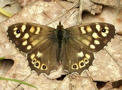 Speckled Wood (gailhampshire) Tags: speckled wood