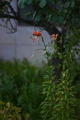 DSC04177 (@saka) Tags: autoupload flowers 69646981 leaves 1030 street 346