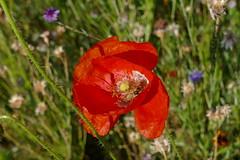 Sommer - Summer (ivlys) Tags: darmstadt park rosenhöhe blume flower blüte blossom mohnblume poppy insekt insect natur nature makro macro schwebfliege hoverfly ivlys