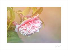 Volunteer Camellia (Meu :-)) Tags: camellia flower macro