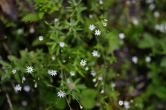 Grass-Leaved Chickweed | Valley of Flowers (arnabchat) Tags: india valleyofflowers valleyofflowersnationalpark unescoworldheritage uttarakhand himalayas mountains hills monsoon flowers blossom dof canon canon6dmkii 35f14l arnabchat flora july2018 2018 grassleavedchickweed grasslikestarwort stellariagraminea