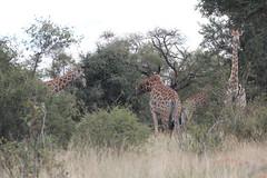 Giraffa camelopardalis giraffa (Southern Giraffe) (Arthur Chapman) Tags: giraffa camelopardalis giraffacamelopardalis giraffacamelopardalisgiraffa giraffe southerngiraffe skukuza krugernationalpark mpumalanga southafrica taxonomy:kingdom=animalia taxonomy:phylum=chordata taxonomy:class=mammalia taxonomy:order=artiodactyla taxonomy:family=giraffidae taxonomy:genus=giraffa taxonomy:binomial=giraffacamelopardalis taxonomy:trinomial=giraffacamelopardalisgiraffa taxonomy:common=giraffe taxonomy:common=southerngiraffe geocode:accuracy=50meters geocode:method=gps geo:country=southafrica geo:region=africa
