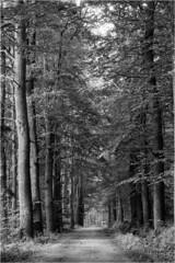 Evening forest light / Wieczorne leśne światło (Piotr Skiba) Tags: beskidy dębowiec bielsko evening forest light trees road shadows bw monochrome ilfordfp4 poland pl piotrskiba eos mood landscape film