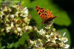 Comma (Polygonia c-album) (gcampbellphoto) Tags: comma butterfly insect macro nature wildlife wexford ireland gcampbellphoto polygonia calbum animal outdoor organic pattern bright photo border