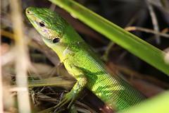 Llargandaix (Albert T M) Tags: llargandaix rèptil lacèrtids lagarto faunasalvatge natura naturaleza espainatural aiguamollsdelempordà altempordà catalunya canon70300mmf456isiiusm reptil