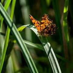 Shadow Buddy (Portraying Life, LLC) Tags: dbg6 da3004 hd14tc k1mkii michigan pentax ricoh unitedstates butterfly closecrop handheld nativelighting skipper emburyroad marsh summer shade