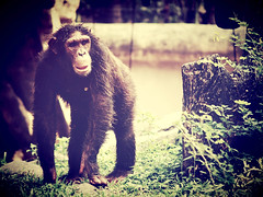 chimpanzee monkey in open zoo (www.icon0.com) Tags: animal monkey chimp relaxing ape trees africa fingers cute bonobo african hairy natural mammal green sweet sit black eyes funny wood lonely primate think endangered bald chimpanzee zoo lazy wild nature alone eating wildlife
