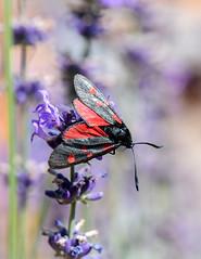 Zygène de la coronille (watbled05) Tags: bokeh extérieur fleurs hautesalpes insecte lavande macro papillon zygène