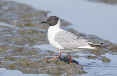 Bonaparte's Gull (Explored) (Tommy Quarles) Tags: bonapartes gull kenai alaska peninsula canon 7d mark ii