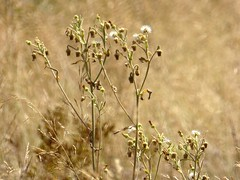 calda estate (fotomie2009) Tags: flower fiore flora wild wildflower wildflowers nature natura dry summer estate