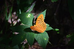 Butterfly lit by the only ray of sunlight that seeped through the trees (Martib97) Tags: butterfly farfalla italy valleimagna valbrunone light ray lit life orange colors