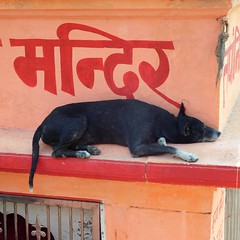 varanasi 2017d (gerben more) Tags: dog hindi animal pet orange varanasi benares india