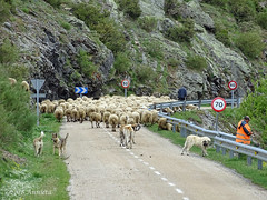 Than you have to wait...:) (♥ Annieta ) Tags: annieta mei 2018 sony a6000 holiday vakantie france frankrijk spanje spain espagne schapen sheep weg road route hond dogs chiens kudde allrightsreserved usingthispicturewithoutpermissionisillegal