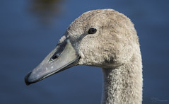 Juvenile Mute Swan Portrait (Paula Darwinkel) Tags: muteswan swan cygnet bird animal wildlife nature waterbird portrait