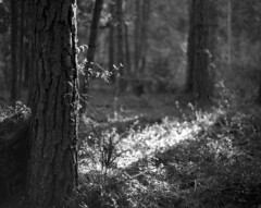 A Sunlit Absence (macromary) Tags: fomapan iso100 analog 120 120film mediumformat florida fortmccoy marion county griffinranch forest woods wood pinewood marioncounty 105mm f24 pentax 6x7